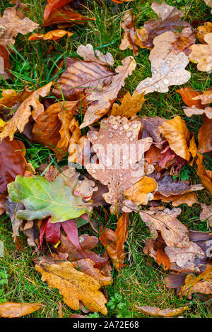 A leaf from an English oak tree (Quercus robur) with water droplets lies amongst a mixture of fallen oak and beech leaves on grass in autumn - Stock Photo