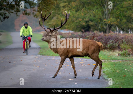 London, UK. 27th Oct 2019. Early morning deer wander through Richmond Park, where over 600 deer roam freely. Credit: Guy Corbishley/Alamy Live News - Stock Photo
