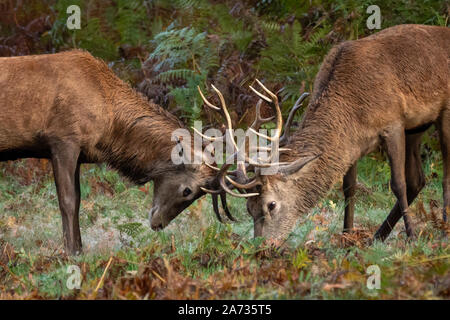 London, UK. 27th Oct 2019. Red deer stag battle for mating rights as rutting season begins in Richmond Park, where over 600 deer roam freely. During t - Stock Photo