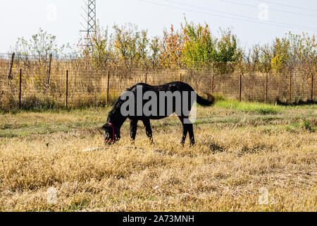 Dark brown horse eating hay in a sunny autumn day - Stock Photo
