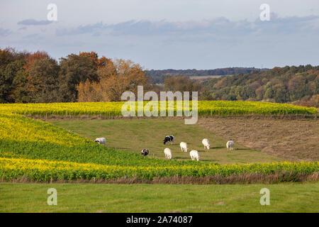 beef cows in meadow between mustard seed fields and autumn forests in dutch province of zuid limburg Stock Photo