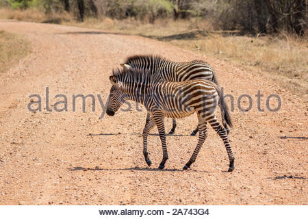 Two Crawshay's Zebra foals crossing a dirt road in the South Luangwa National Park. - Stock Photo
