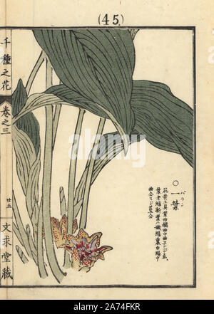 Baran or cast-iron plant, Aspidistra elatior. Handcoloured woodblock print by Kono Bairei from Senshu no Hana (One Thousand Varieties of Flowers), Bunkyudo, Kyoto, 1889. - Stock Photo