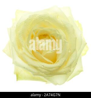 rose, single flower on white underground - Stock Photo