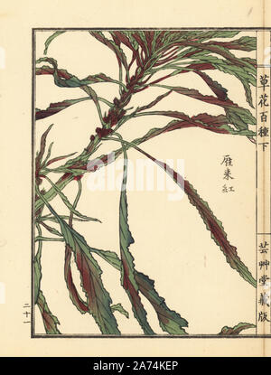 Hageitou or Joseph's coat, Amaranthus tricolor. Handcoloured woodblock print by Kono Bairei from Kusa Bana Hyakushu (One Hundred Varieties of Flowers), Tokyo, Yamada, 1901. - Stock Photo
