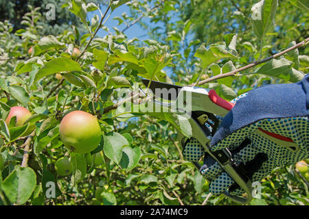 Tree pruning, fruit tree, apple tree in summer - Stock Photo