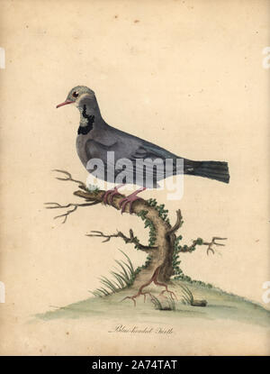 Blue-headed quail-dove, Starnoenas cyanocephala. Endangered. (Blue headed turtle or pigeon, Columba cyanocephala) Handcoloured copperplate engraving of an illustration by William Hayes from Portraits of Rare and Curious Birds from the Menagery of Osterly Park, London, Bulmer, 1794. - Stock Photo