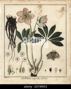 Christmas rose or black hellebore, Helleborus niger humilifolius. Handcoloured copperplate engraving by F. Guimpel from Dr. Friedrich Gottlob Hayne's Medical Botany, Berlin, 1822. Hayne (1763-1832) was a German botanist, apothecary and professor of pharmaceutical botany at Berlin University. - Stock Photo
