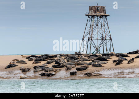 Walde Lighthouse and its colony of gray seals (Halichoerus grypus), Hemmes de Mark, cote d'Opale, Pas de Calais, France. It marks the place separating - Stock Photo