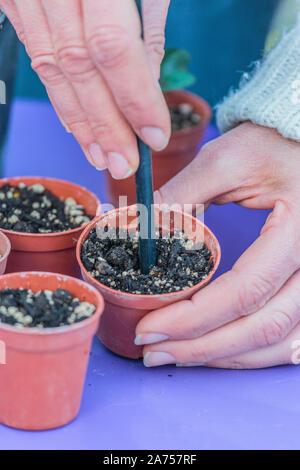 Transplant plantlet of Persian cyclamen (Cyclamen persicum) in individual pot - Stock Photo
