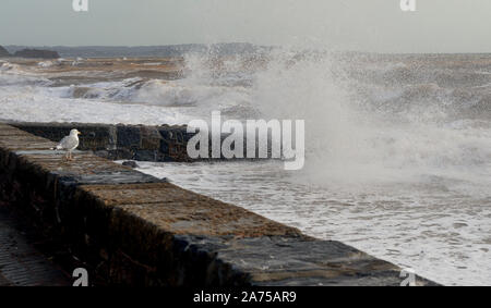 A lone herring gull watching waves crashing over a breakwater at Dawlish. - Stock Photo