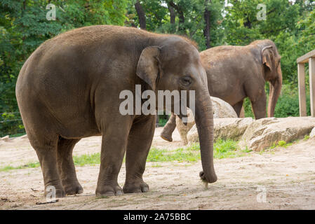 Berlin, Germany - 5 august 2019: Big elephant  at the Berlin zoo - Stock Photo