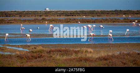 Main attraction of Spanish Natural Reserve Delta del Ebro - group of flamingos in lagoon of river in spring day - Stock Photo