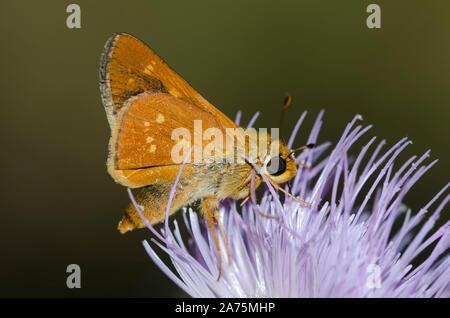 Leonard's Skipper, Hesperia leonardus, male nectaring from thistle, Cirsium sp. - Stock Photo