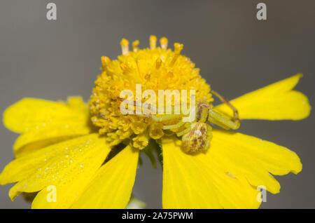 Crab Spider, Mecaphesa sp., lurking on sneezeweed, Helenium amarum Stock Photo