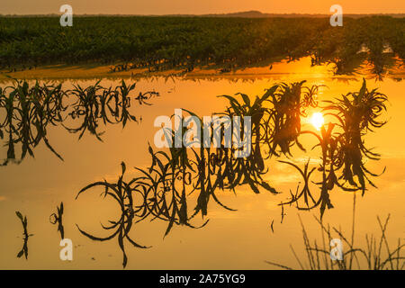 Flooded young corn field plantation with damaged crops in sunset after severe rainy season that will impact the yield of cultivated plant - Stock Photo