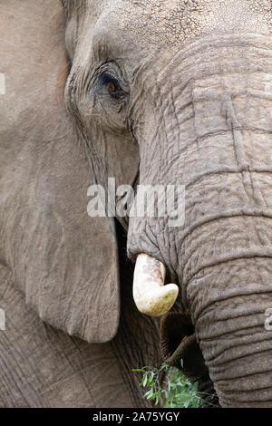 African Elephant (Loxodonta africana) close-up, Mashatu Game Reserve, Botswana - Stock Photo