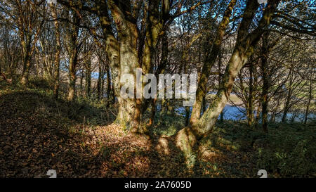 A panoramic view of trees in a woodland overlooking the Gannel Estuary in Newquay in Cornwall. - Stock Photo