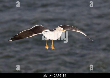 Lesser black-backed gull (Larus fuscus) in flight over sea water - Stock Photo
