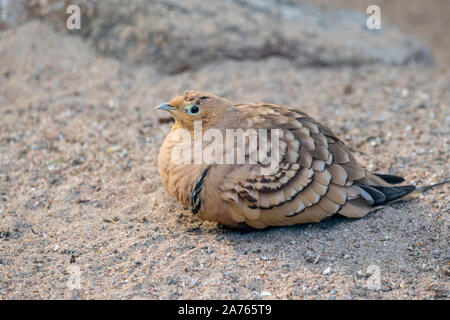 Pterocles exustus,Wuestenflughuhn,chestnut-bellied sandgrouse - Stock Photo