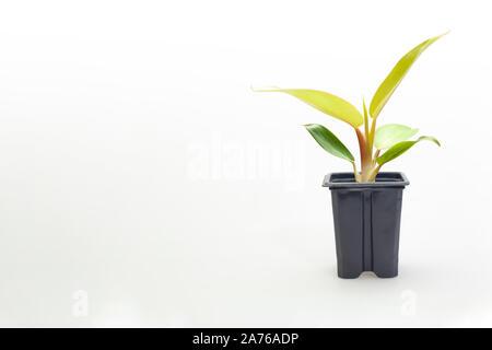 Gorgeous houseplant Maranta in a colorful pot isolated on white background - Stock Photo