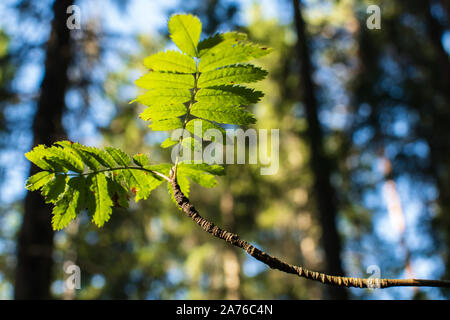A birch branch with vivid green leaves in sunlight - Stock Photo