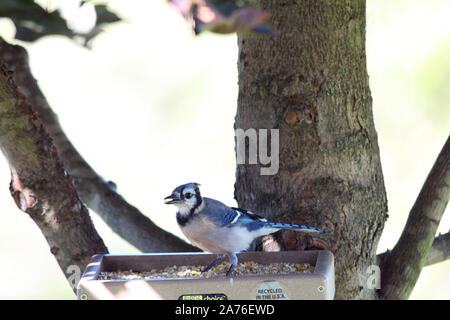 Close up of a juvenile Blue Jay eating at a bird feeder in Wisconsin, USA - Stock Photo