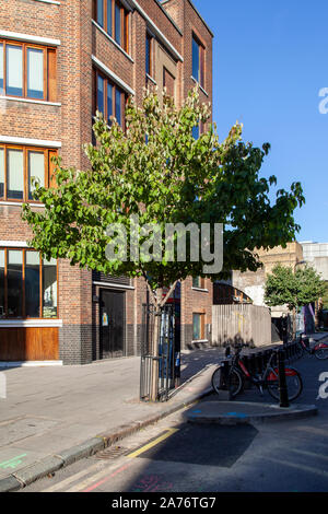Handkerchief or dove tree (Davidia involucrata), street tree, Shoreditch, Hackney UK - Stock Photo