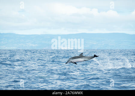 A Striped Dolphin (Stenella coeruleoalba) leaps out of the water in the Atlantic Ocean off the coast of Pico Island in the Azores archipelago. - Stock Photo