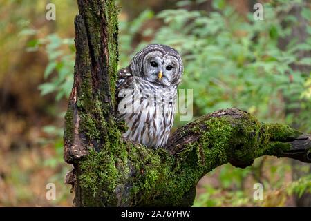 Barred Owl (Strix varia) sitting in dead tree, E N America, by James D Coppinger/Dembinsky Photo Assoc - Stock Photo