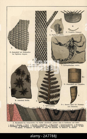 Fossils of plants including Annularia fertilis, foliage Sphenopteris, horsetail Calamites, Sigillaria elegans, Lepidodendron elegans, Ptylopora pluma, Chonetes dalmani, and a scorpion Cyclophthalmus senior. Chromolithograph from Dr. Fr. Rolle's 'Geology and Paleontology' section in Gotthilf Heinrich von Schubert's 'Naturgeschichte,' Schreiber, Munich, 1886. - Stock Photo