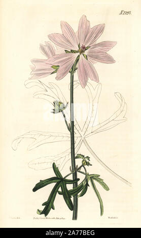 Vervain mallow, Malva alcea. Handcoloured copperplate engraving by Weddell after an illustration by John Curtis from Samuel Curtis's 'Botanical Magazine,' London, 1822. - Stock Photo