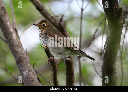 Close up of a beautiful Swainson's Thrush (Catharus ustulatus), also called Olive-backed Thrush in the forests of Panama. - Stock Photo