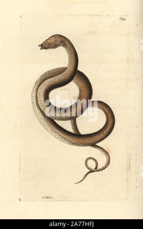 Tentacled snake, Erpeton tentaculatum (Tentaculated erpeton, Erpeton tentaculatus). Illustration drawn and engraved by Richard Polydore Nodder. Handcoloured copperplate engraving from George Shaw and Frederick Nodder's The Naturalist's Miscellany, London, 1804. - Stock Photo