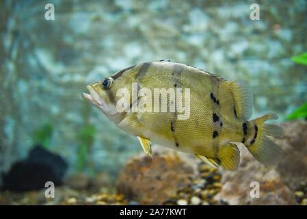 Siamese tiger fish swimming underwater fish tank at aquarium / Fish tiger - Stock Photo
