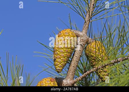 Mediterranean pine tree cone Latin pinus pinea also called the an umbrella pine or parasol pine or Italian stone pine family pinaceae in autumn Italy - Stock Photo