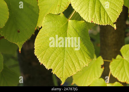 common lime leaf close up with the sun behind in late October in Italy Latin tilia from the malvaceae family also makes a soothing tea - Stock Photo