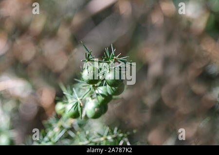 wild asparagus or sparrow grass berries in autumn or fall in Italy a very thorny plant edible and very healthy Latin asparagus acutifolius - Stock Photo