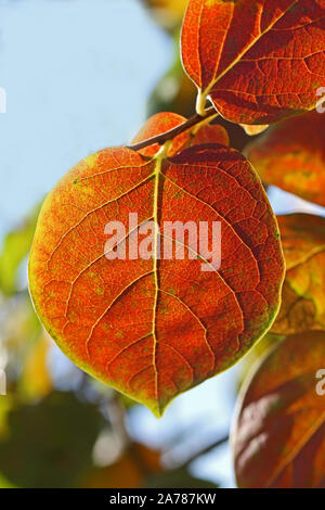 persimmon or persimon leaf or kaki leaf diospyros kaki family ebenaceae close up in autumn showing beautiful colours in Italy - Stock Photo