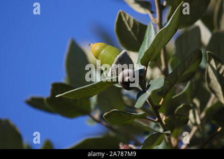 holm oak or holly oak leaf and acorns in Italy Latin quercus ilex its leaves are very similar to holly leaves a tree native to the Mediterranean - Stock Photo