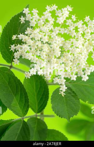 Elder - Elderflowers - Stock Photo