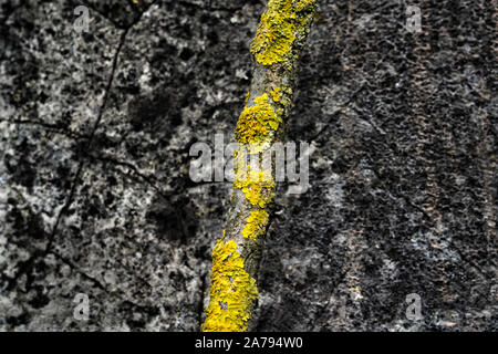 Lichens on a branch in front of an old wall Stock Photo