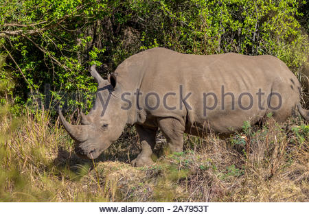 A Southern White Rhinoceros grazing in the Pilanesberg National Park, South Africa - Stock Photo