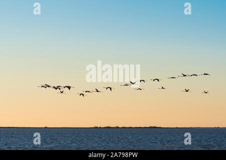 Greater flamingos in flight (Phoenicopterus roseus), Camargue, early May, France, by Dominique Braud/Dembinsky Photo Assoc - Stock Photo