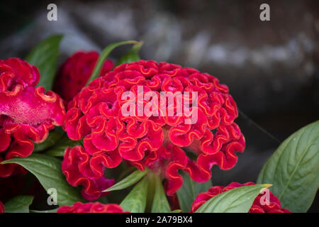 Cockscomb, Chinese Wool Flower, Celosia argentea L. var. cristata L. Kuntze - Stock Photo