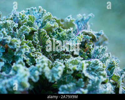 German heirloom kale variety 'Altmärker Braunkohl' with frost in the morning.