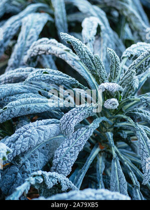 Kale Nero Di Toscana with frost in a vegetable garden. - Stock Photo