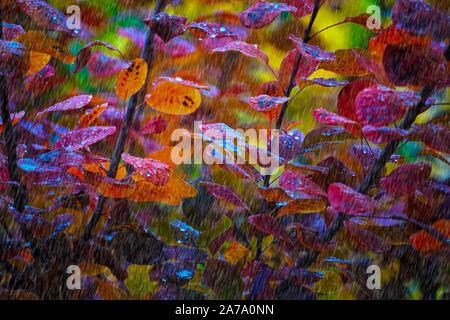 Montreal,Quebec,Canada,October 23,2019.Autumn foliage during a rain storm in Montreal,Quebec,Canada.Credit:Mario Beauregard/Alamy News - Stock Photo