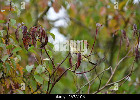 Wood warbler sitting in bushes in autumn colored leaf - Stock Photo