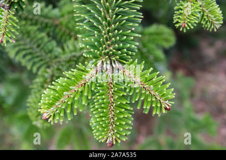 Nordmann Fir Leaves in Winter - Stock Photo